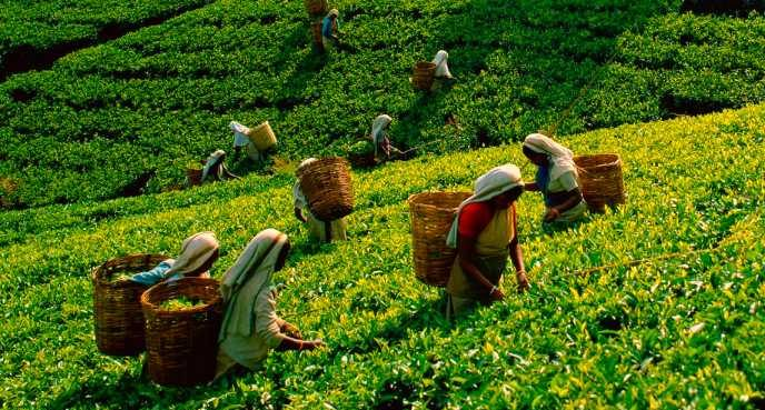 tea-plantation-sri-lanka-ulitmate-guide