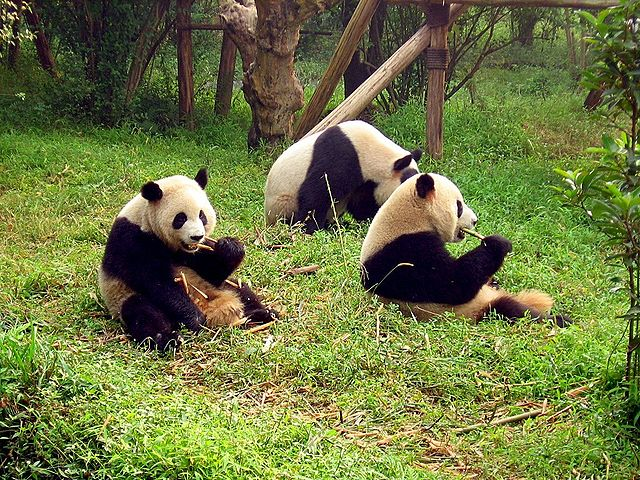 640px-Chengdu-pandas-d10.jpg