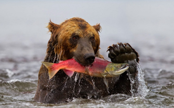 picture-of-a-grizzly-bear-in-the-water-with-a-big-fish-in-his-mouth-hd-bears-wallpapers.jpg
