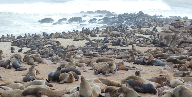 Seals_at_Cape_Cross,_Namibia.jpg