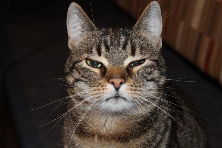 MaxPixel.freegreatpicture.com-Tiger-Cat-Cat-Funny-Cat-Face-Domestic-Cat-Mieze-2306185.jpg